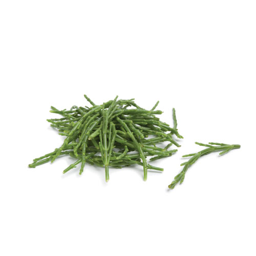 Salicornia Mc Garlet