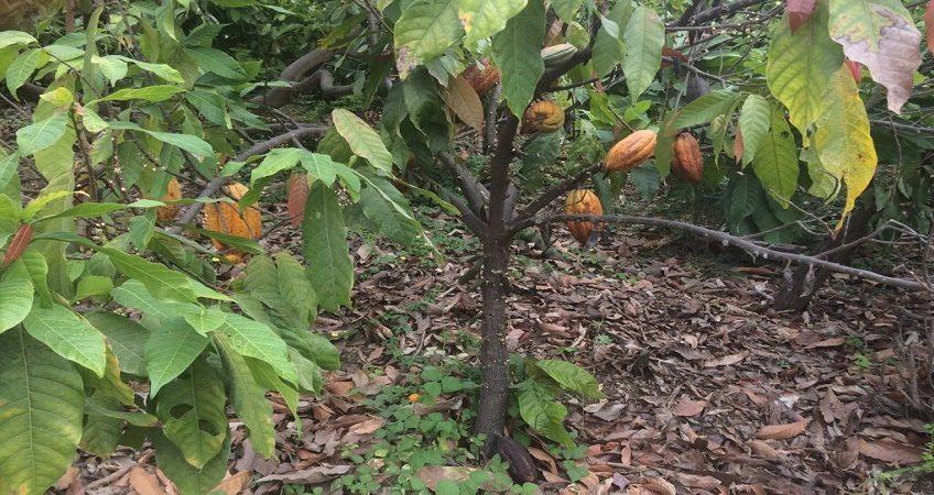 Pianta Del Cacao Mcgarlet