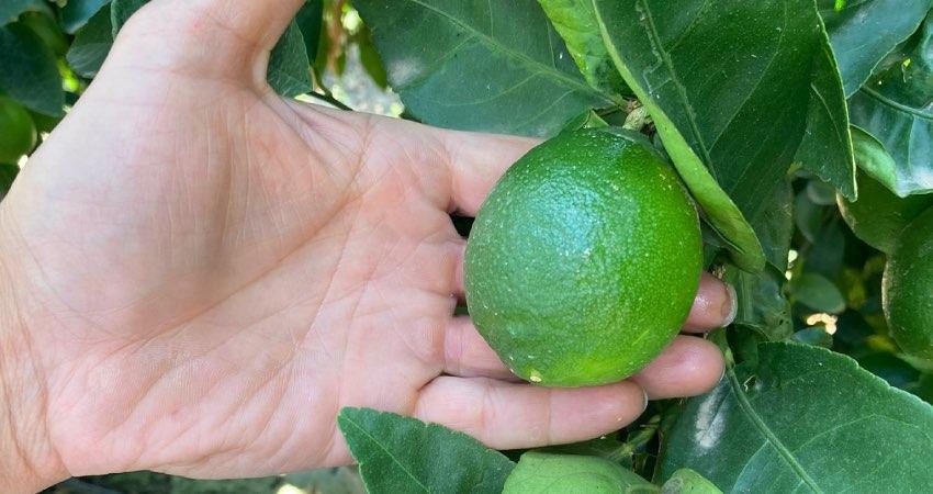 lime italiano coltivato da Be Fruit in Sicilia