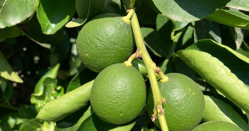 lime italiano coltivato in Sicilia